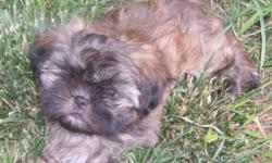 Mona, a beautiful, black-masked brindle, female Shih Tzu, with a gentle soul was born on April 28, 2011 to fully-registered AKC parents. Father is a solid chocolate Imperial and mother is a gold Standard chocolate-carrier. Flat face, fabulous, thick,