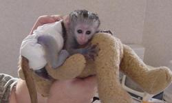 Bella is a hand tamed, bottled fed baby Capuchin monkey ready to join a new family. She was raised in my home with kids, other pets and lots of human interaction. She is diaper trained, leash trained, wears clothes and likes to lay around, watch TV and