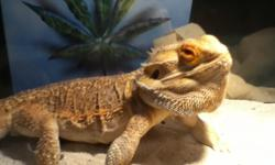 I have a female bearded Dragon, she's about 4 years old & needs a good home! I named her Izzy (: contact me if your interested.