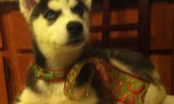 Introduce your new husky pup to the family during the Holiday season this year. We have our LAST Female Black and White (blue eyes) husky puppie born September 26, 2012.  Very energetic with an unique, distinctive flor-de-le.    Looking for