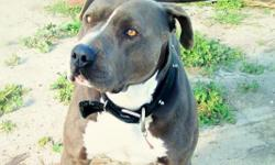 3 yr old blue nose pit to good home with no other dogs. loves water and attention..moving can't keep her.