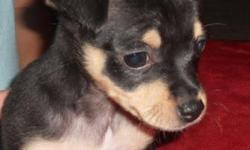 I have a 12 week old female chihuahua puppy. She is being potty trained and doing well. She is looking for her forever home