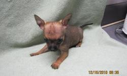 very small and dainty chocolate with blue markings female chihuahua puppy. born november 4 , 2010. up to date on shots and wormings, paper potty trained, eating moist puppy food. she is small but she doesn't know this. she loves wrestleling with her