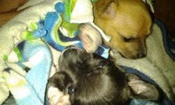 Ibave 2 female chihuahuas they were born sep 4 I would.really like them to go to.the same home for.more info please call