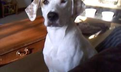 """Trying to find a new home for a female 1 year old dog. She is white with brown spots and believed to be a mix between a hound and lab. She is easy to train (knows """"sit"""", """"stay"""", """"lay down"""" and trained to get in her kennel when you say """"cage""""). House"""