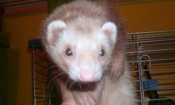 Female ferret for rehoming. i have to rehome her because i have a blind dog that gets nervous easily and he decided he doesnt like my ferret anymore and tried to attack her =(. she is 9 months old. descented and fixed both. shes also litter box trained.