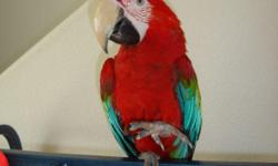 Greetings!  I have a BEAUTIFUL 10 month old female Greenwing Macaw for sale. I am starting to work for 80 hours a week with a new job and I must travel often. I fear that she will not get the attention that she deserves. She is so