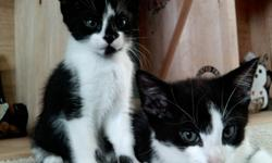 Two black and white female kittens (8 weeks old). Take one or both.