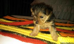FRANKLINVILLE AREA. 1 FEMALE MORKIE PUPPY. 7 WEEKS OLD. $600 OR BEST OFFER. WILL BE READY ON DECEMBER 27,2012. IF INTERESTED PLEASE CALL BETTY AT --