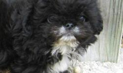 She is a very cute and sweet Pek-a-Poo Puppy. She was born 2-17-11 and is up to date on shots and wormed. She is very sweet and will make a great pet! Must see! $350 If interested call (252)336-4390