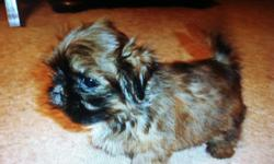 She is a very pretty and sweet Shih-Tzu puppy! She was born 10-17-12 and is current on shots and wormings. She weighs 1 1/2 pounds. She will make a great addition! Must see! $450, cash. Pet only! If interested call ()-