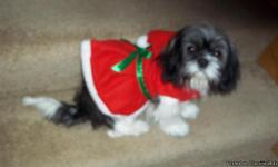 FEMALE - SHIH TZU - She is five months old she will be a puppy that can only be with adults no children she is scared of kids she has not been around children just elder people.If you would like her to be with children it will take some time for her to