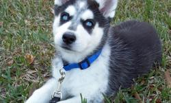 16 week old Siberian Husky puppy with traditional black and white markings with black mask and crystal blue eyes. Is very friendly with kids and other pets including cats. Has current shots up to 6 months. She will go fast so first come, first serve.