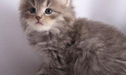 Sherri is a silver tabby Siberian kitten who is ready for her forever home. She is a doll baby with an instant purr, very well socialized with children and dogs. She is a quiet and loving kitten who loves her tummy rubbed and requires a warm lap to sleep