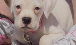 YES, She does hear and can hear...16 month old White with small brown patch on right ear and top of head. She is a purebred but not papered. She knows how to sit, come when called and that she is just to much for me. She gets along great with other dogs