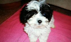 She is a beautiful White/Black parti Yorkie-Poo puppy! She was born 9-22-12 and is current on shots and wormings. She only weighs 2 pounds! She is so sweet and lovable! No small children please. $600, cash. If interested please call ()-