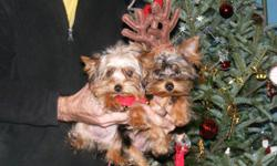 petite little female yorkie. has shots including rabies. aca registered.she is the tiny one on the left in the photo