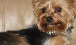Her name is bella she will be 2 years old in July. She is a purebred yorkie and is about 6 lbs, very loveable, a lapdog. We bought her from a friend who couldn't keep her and had her spayed, but realized it was to much with having 2 other dogs and a baby.