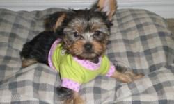 I have one female yorkie puppy left. She is 11weeks old. Shots are up to date. Will weigh between 6 to 7 pounds. Will email more photos if interested.