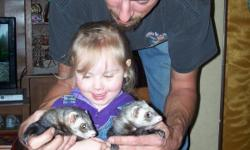2 8 month old female ferrets with cage very playfull need to sell due to allergeys with children in the house they r descented cage is 3ftx2ftx2ft includes water bottle