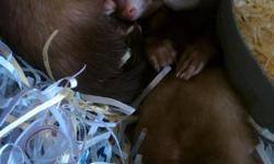 Ferrets For Sale South Florida. Our adorable ferret babies for sale have shots, already descented, come with information/health papers, and guarantee. Only $119.99 Call (828)-253-2392 and visit www.yourpetcity.com