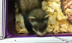 Ferrets for sale in South Florida near Fort Lauderdale and Weston area. Our ferret babies for sale have shots, health papers, are already vet checked, spayed/neutered, and descented. Fully weaned and ready for new homes just in time for Christmas! *We