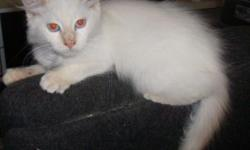 We have an adorable Ragdoll flame point male kitten, born August 11, 2010, still available. All our cats have been tested negative for FeLV (feline AIDS) and FIV (feline HIV). The kitten is registered and has received his first shots, worming and health