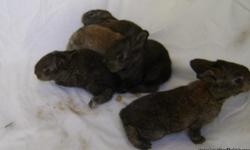 I have (5) flemish giant rabbits. They are 13 days old in the photos. I will be updating photos as they grow. These rabbits will be ready to go home the week of December 19th! Perfect gifts for Christmas! These rabbits were held an hour after birth and
