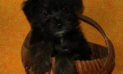Adorable little Yorkie-Poo puppies ready for their forever families! These little puppies are so fluffy and have nice soft thick fur. They are very very sweet too! They are playful little puppies that also love to sit and cuddle. Yorkie-Poos are wonderful