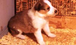 AKC Collie Puppies born 9/28/2010. 4 males (3 sables and 1 tri) and 2 females (1 sable & 1 tri). Up-to-date worming and vaccinations. We have been enjoying and raising collies for over 40 years. Our puppies grow up in a loving atmosphere on our family
