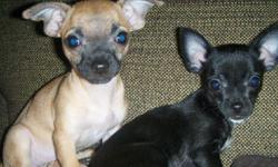 $200 Location: Wichita, KS Description: For Sale: Chihuahua puppies..2 pure bred female puppies beautiful playful and very loving. They are being potty trained and are currently using both the potty pad and learning to go outside by saying outside go