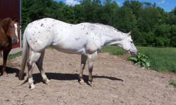 Dreamfinder granddaughter. Trail rides. Very athletic and quick on her feet. Could make a great performance horse. Requires an experinced knowledgeable horse person.