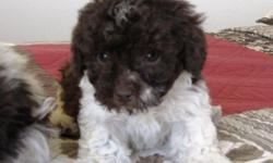 I have 5 beautiful puppies in this litter. There are 2 female and 2 males left. I call them cockapoo-poo's because there mom is a cockapoo and there dad is a poodle. They have had there dew claws done, tails docked and have had there first set of shots