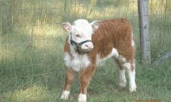 Mini Hereford Bull Calf - calved 09/06/2012.  Dehorned, tattooed, and will be registered with AMA.  Ready to go January 31, 2013.  Small deposit will hold.  Call Milt or Barb --.