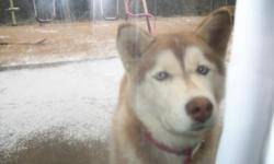 Beautiful rare red and white female Siberian Husky for sale. She is 2 years old blue eyed and very good with children. Comes with some supplies, such as food and treats. Will deliver if needed. Call (256) 886-3613 home or (808) 343-6813 cell.