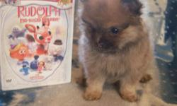 For sale tiny ckc male pomeranian puppy. He is blue sable. utd on shots and worming. He is 8 weeks old. call Shelia if interested at -- or --.