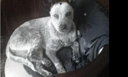 We found this sweet dog on 12/24/2010 on Ave R in Wichita Falls, Tx. She is white with grey spotting, dark ears, and a distinctive black spot on the top of her head (see picture). She weighs approximatly 20 - 25 pounds and appears to be a Blue Heeler /