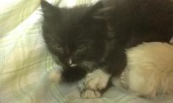 I found a black kitten with white on the nose. I was on a walk and she was in a little bush cold and wet. Near 25th street.