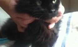 Long haired black cat found at Dockside restaurant off Shore Dr. in Virginia Beach, VA. She is very thin, well-mannered, and cute. She has been taken to the vet for a check-up and is healthy but appears to have been spayed so we assume she has an owner.