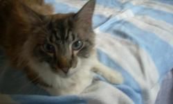 6/24/11 Found, male brown and white long-haired cat, seems to be neutered, not declawed, beautiful blue eyes. VERY thin, very talkative and affectionate, obviously someone's lost pet. Email terriswift1@gmail.com and get him back home!