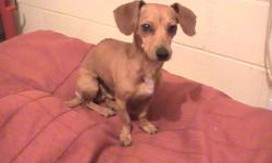 I FOUND A MALE CHIHUAHUA OR IS IT A DASH HOUND? AND UN-NEUTERED. HE WAS STARVING BUT REAL HEALTHY. HE WAS FOUND AT RENO AND HAVEN STREET WHERE KOVAL TURNS TO RENO AT TROPICANA AIRPORT BY HOOTERS HOTEL. I DONT HAVE ANYWHERE TO PUT HIM, AND HE IS SO SWEET,
