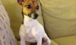 Found Female Jack Russell Terrier in Smyrna, TN near Publix/I-24. She is predominantly white, with a brown face and ears.  She is a sweet dog who misses her family.  Please call ...