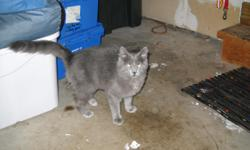 Found young silverish grey cat/kitten on 2/11/11 in the street near High Point Park off of Koetke. Very friendly, medium length hair, appears to be unaltered male.