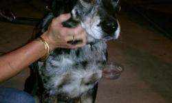 Black w/white markings. Had collar w/ leash still attached. very sweet boy.