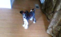 FOUND 7-16-11 IN LEVY AREA SMALL TERRIER, MALE, NEUTERED WITH BLACK COLLAR. HOUSE TRAINED - INSIDE DOG VERY SWEET.