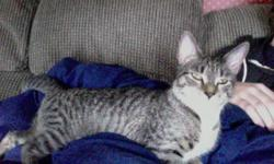 Recently found this young brown tabby female freshly neutered kitten. Very friendly/tiny. Bring her home!