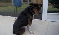 Found dog on Morris Bridge, Tampa near the Circle K before I 75 Hwy on Dec 03. Black back, brindle face, white paws. Some brown. Well behaved, most of the time Call --