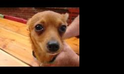 Very sweet and energetic male Chihuahua was found just east of 46th and Peoria on 8-25-12. He had a green collar but no tag. He is not nuetered.