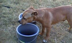 Young very active Tan and White Male pit less than a year old, no chip. Found on Anita near Anita Circle, Las Cruces. Call --. The dog did not have a colar or tags. Chewy as I call him, still has not found his owners, I cannot keep this animal. It is