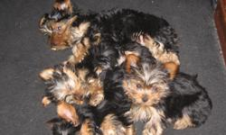 have four cute yorkie puppies 2 male and 2 females. born 8/23/2012. ducted tails , all first shots with vac records ready for new homes only serious offers apply. mother and father on premisses.